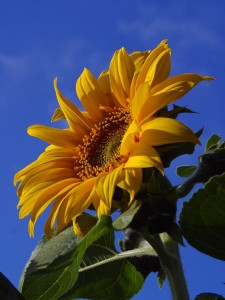 A summery sunflower (courtesy PDPhoto.org)