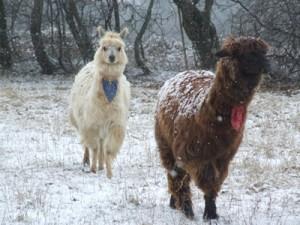 snowypacas