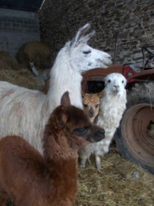 Left to right: Grainne (huarizo), Windermere (llama) and Wiggo and Kiera (suri alpacas)