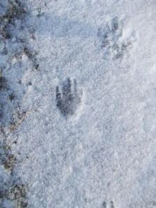 Ragondin (coypu) pawprint