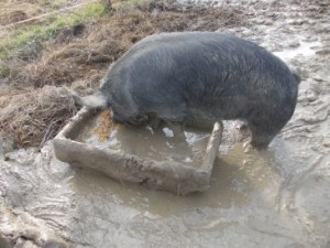 pig eating muddy