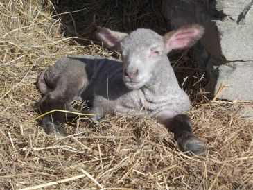 lamb april 2days old