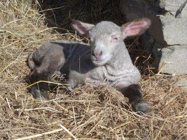 lamb april 2days old