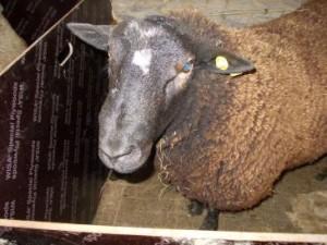 prebsheep brown sheep