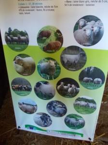 prebsheep types sheep pics