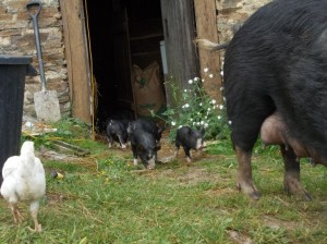 piglets outside stage7
