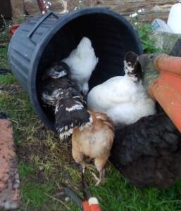 chickens bin