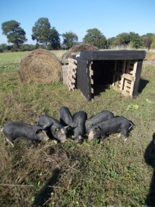 weanpigs new run