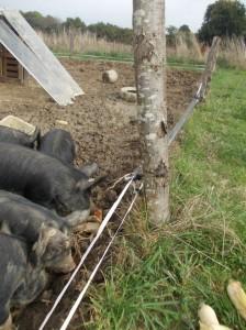 piglet fence 2
