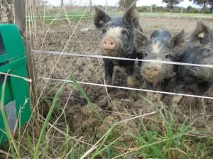 piglets fence