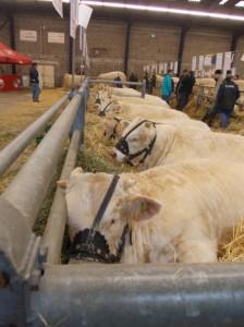 nov cow fest