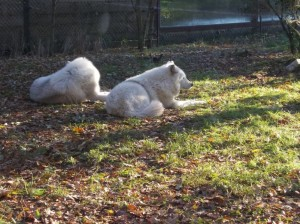 bordozoo arctic wolves