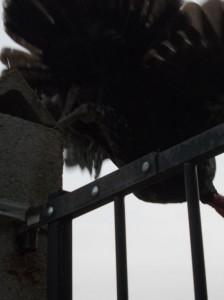 turkey fly