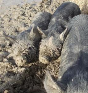 muddy piglets