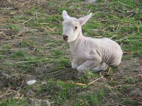 cowslip kush