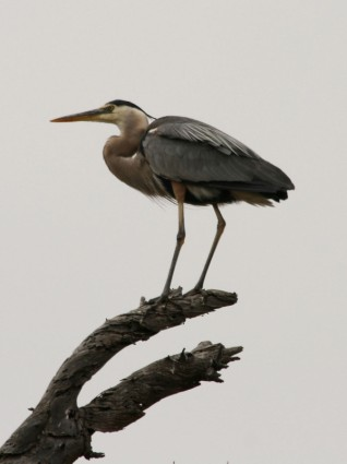 Public domain photo of heron by A. Schmidt