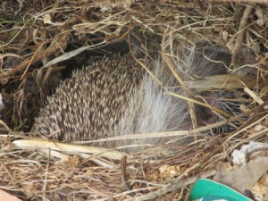 You can just see the pink head and front leg of the suckling baby hedgehog