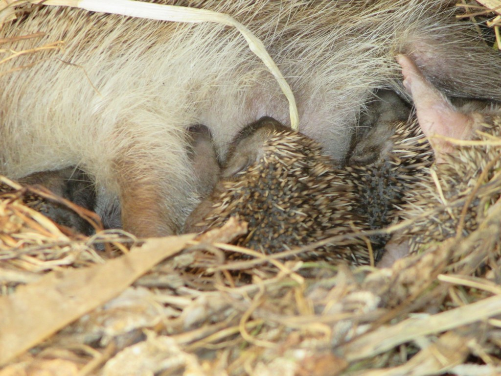 suckling hedgepigs full