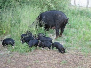 piglets outdoors all