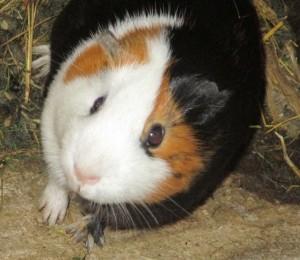 guinea pic like ornament