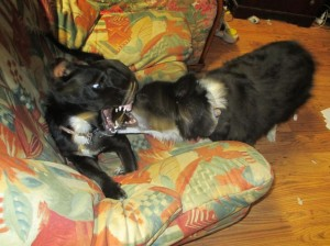Tobi is certainly agile when play fighting with Nessie!