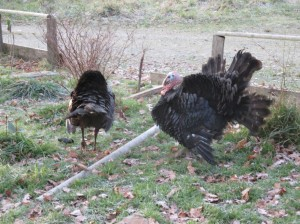 turkey strutting 2 males