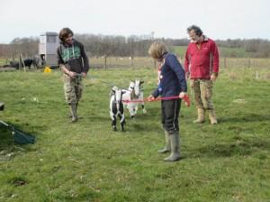 goat walk2