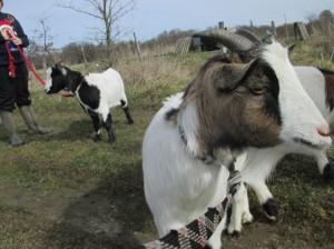 goat walk3