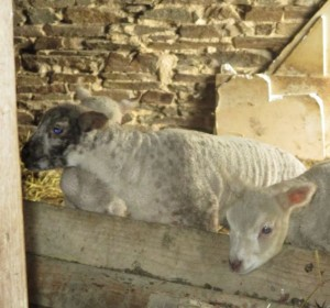lambs stable