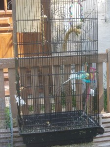 budgie trap4