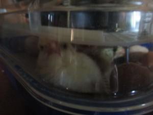 chicks plz let me out2