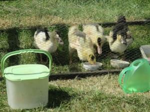 25juin wild ducks