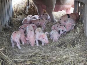 oph piglets exploring1