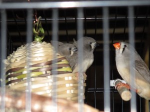 finch babies three and dad